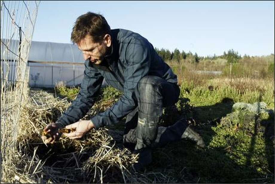 "This time of year Jerry Traunfeld, chef of the Herbfarm in Woodinville and cookbook author, pursues themes such as ""the underappreciated root vegetable."" Above he digs for nasturtium tubers. Photo: Mike Urban/Seattle Post-Intelligencer"