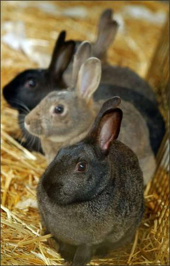 Four Woodland Park female rabbits await their fate in a holding pen at Magnuson Park after they were captured Tuesday. Photo: Grant M. Haller/Seattle Post-Intelligencer