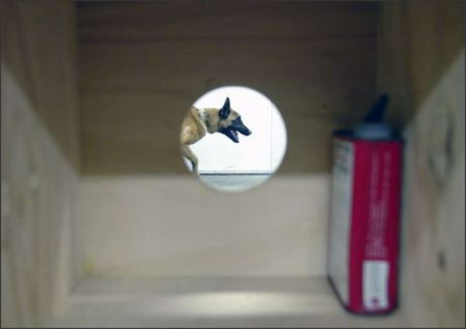 Missy, a 14-month-old Belgian Malinois pup, is seen through the hole of a scent box as she gets ready for the next round of training at the State Patrol's facility in Shelton. The can to the right contains gunpowder that Missy is being trained to detect. After she finds the powder she is rewarded by her handler. Photo: Gilbert W. Arias/Seattle Post-Intelligencer