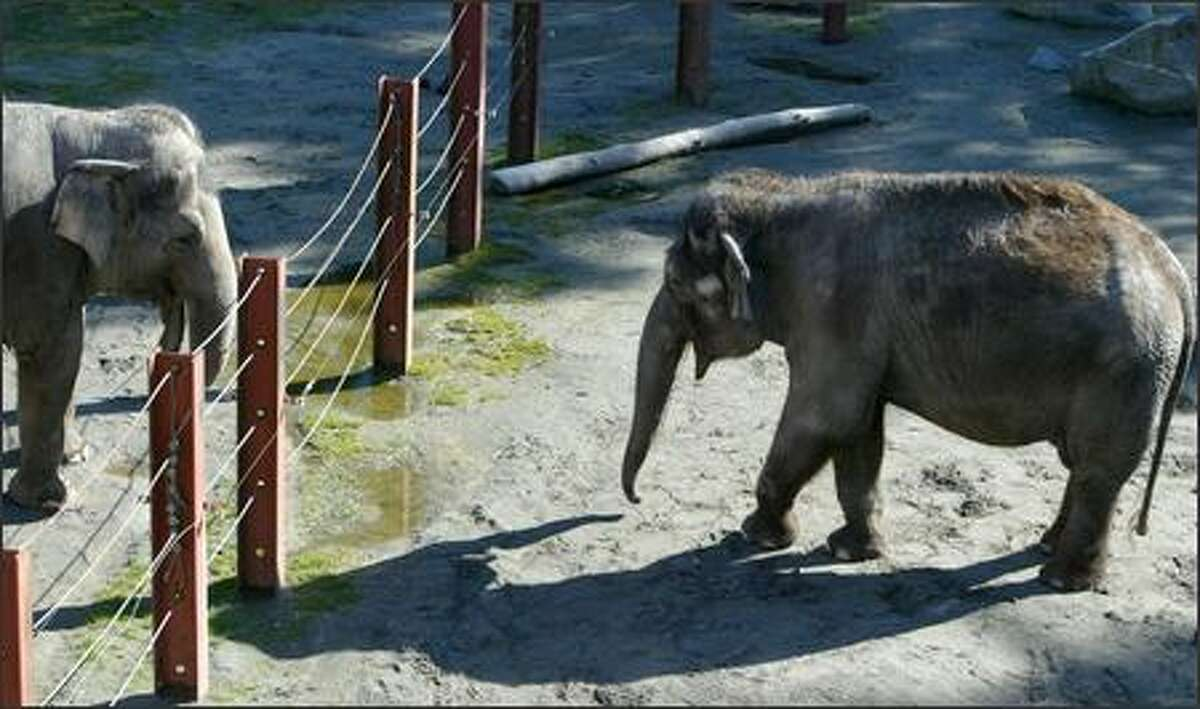 At the Point Defiance Zoo & Aquarium in Tacoma, Bamboo, right, walks around her pen looking for a treat Monday, while 42-year-old Hanako watches. Bamboo will be returned to Seattle's Woodland Park Zoo sometime in the next two months.