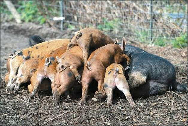 A litter of piglets Tamara Murphy has been watching grow steadily toward their 100-pound slaughter weight. Photo: Meryl Schenker/Seattle Post-Intelligencer