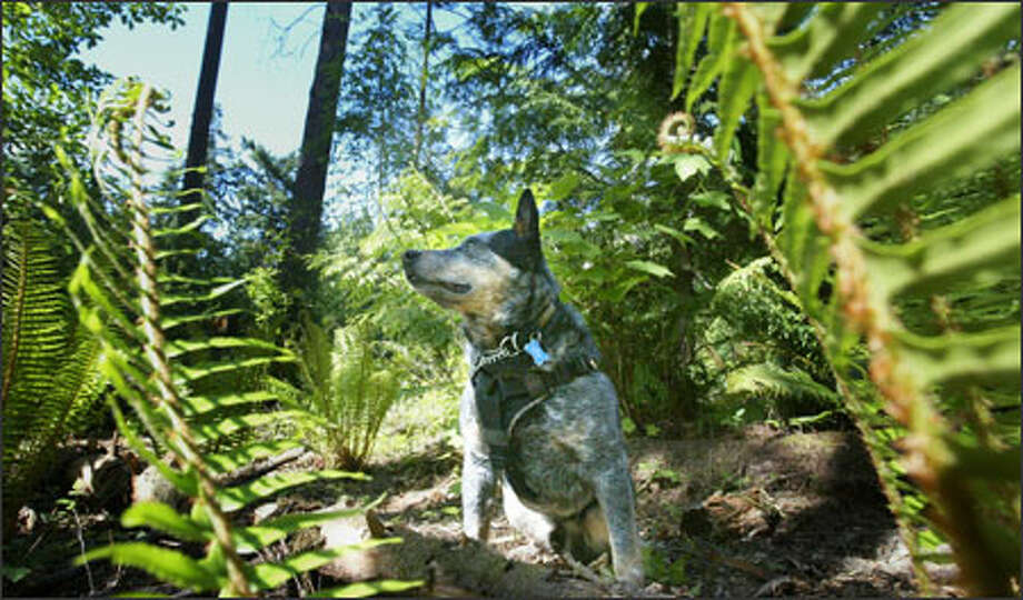 Gator flunked out of the Department of Corrections school that trains drug-sniffing dogs. But now he's an experienced scat tracker. Photo: Paul Joseph Brown/Seattle Post-Intelligencer