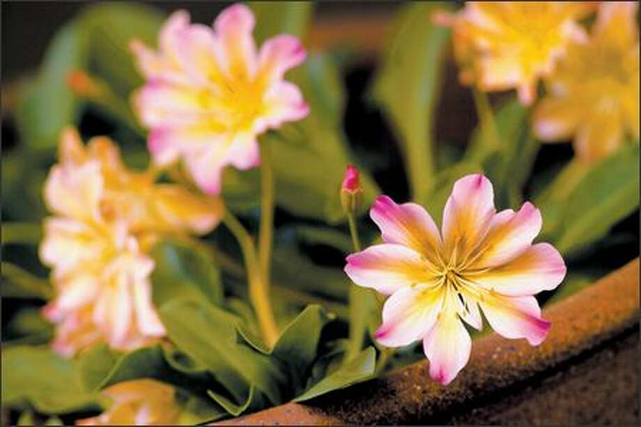 Alpine plants, such as this Lewisia tweedyi, need a gritty potting soil mix. Photo: Andrew Buchanan /