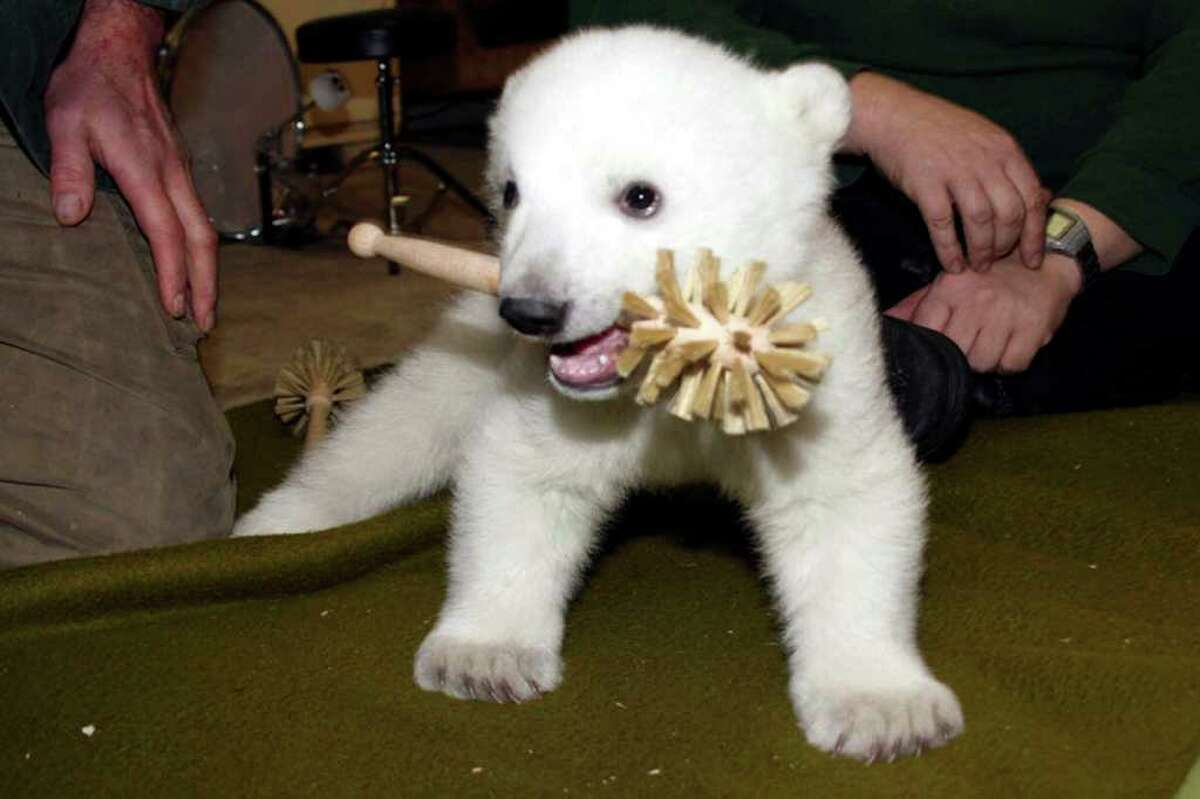 BERLIN - MARCH 02: Polar bear cub Knut, born December 5, 2006, is seen at the Berlin Zoo March 2, 2007 in Berlin, Germany. The cub, whose mother Tosca rejected him, has been living with his caretaker. Zoo officials say Knut could make his first public appearance by Easter. (Photo by Zoo Berlin via Getty Images)