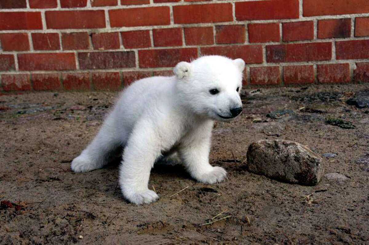 BERLIN - MARCH 02: Polar bear cub Knut, born December 5, 2006, is seen at Berlin Zoo March 2, 2007 in Berlin, Germany. The cub, whose mother Tosca rejected him, has been living with his caretaker. Zoo officials say Knut could make his first public appearance by Easter. (Photo by Zoo Berlin via Getty Images)