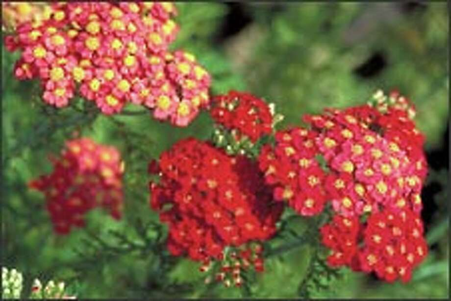 Yarrow (Achillea), including the brick-red 'Paprika,' produces nectar that attracts beneficial insects.