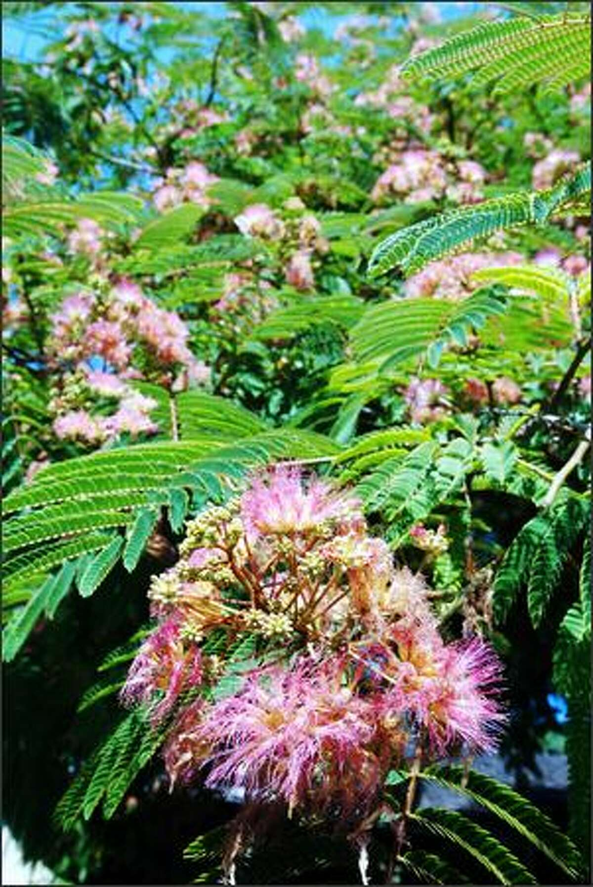 A smaller spreading tree such as mimosa (Albizia julibrissin) will grow tall enough to shade a window.