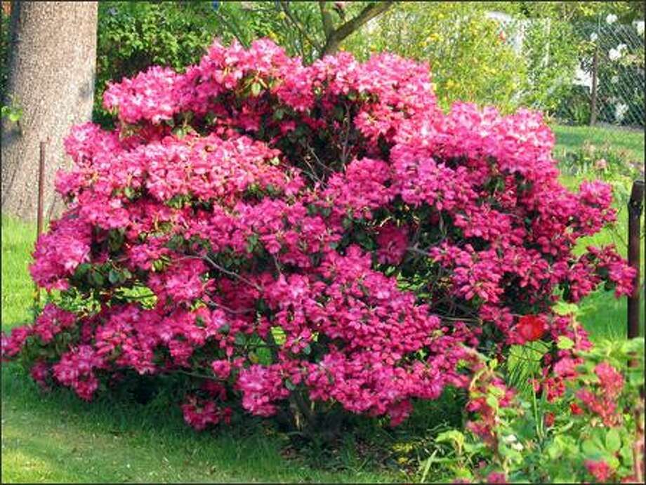 This time of year, dry soil is the primary cause of leaf drop for rhododendrons. Photo: /