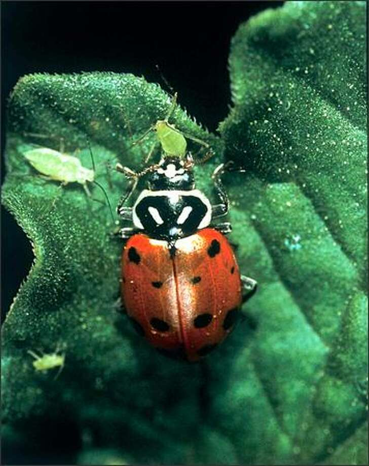 A lady beetle makes a meal of some destructive aphids. Having the right host plants can attract beneficial insects, which will provide environmentally friendly pest control. Photo: /EGENTS OF THE UNIVERSITY OF CALIFORNIA