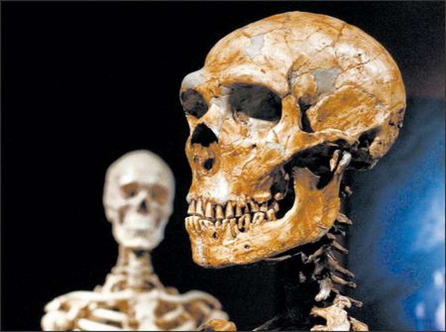 A Neanderthal skeleton, right, is displayed near a modern human skeleton at the Museum of Natural History in New York. The Neanderthal skeleton is made from casts of more than 200 bones. Photo: / Associated Press