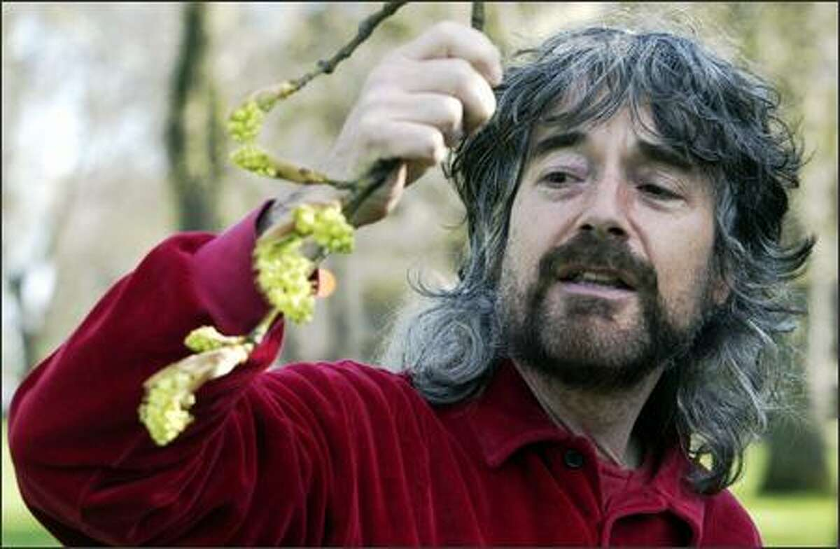Tree expert Arthur Lee Jacobson, here inspecting a bigleaf maple, says the cascara is