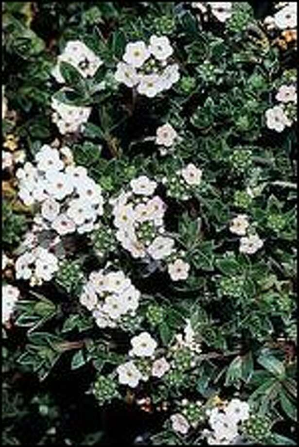 """Jasmine and other """"softwood"""" plants can be duplicated by taking pencil-size cuttings this month. Photo: HORT PRINTERS"""