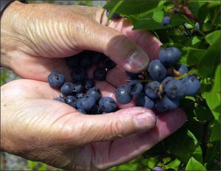 "Learn all about growing blueberries today at Swansons Nursery in a free seminar at 11 a.m. titled ""Growing the Berry Best!"" Photo: AP FILE"