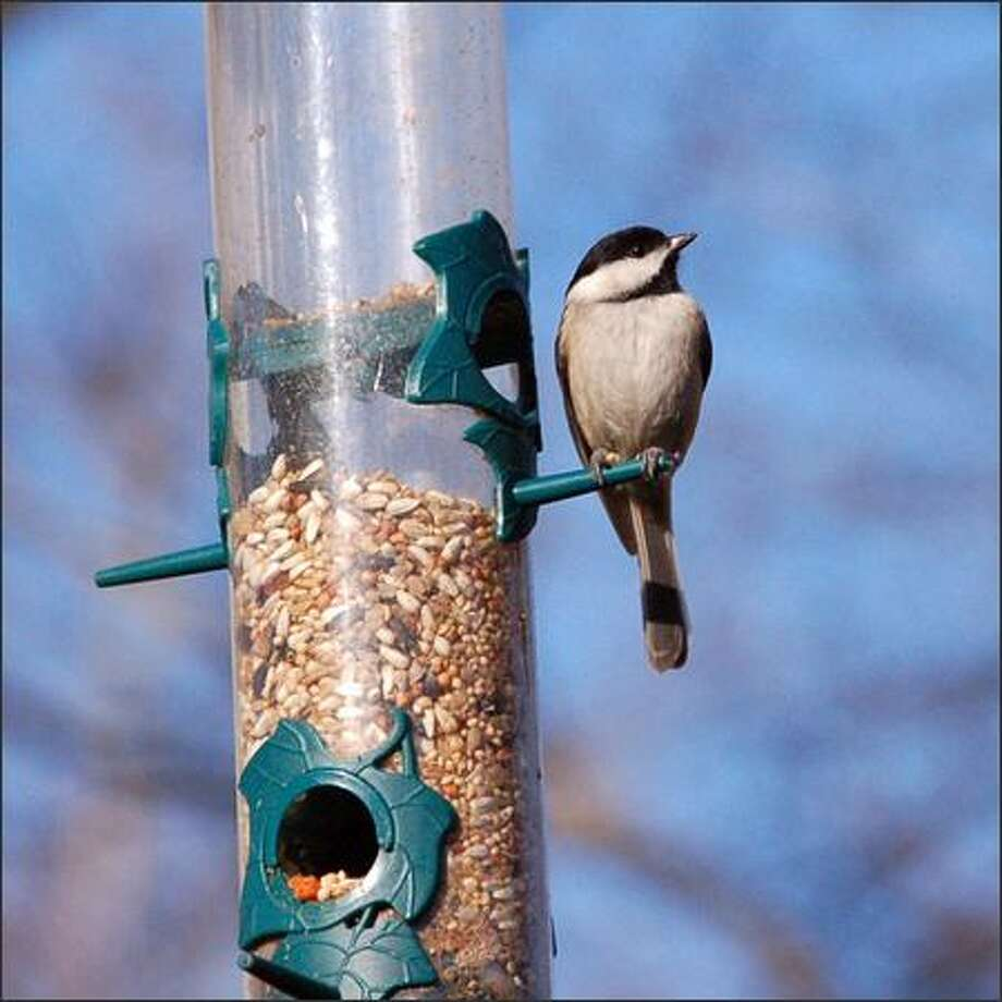 Birds like this chickadee need adequate body fat to serve as fuel so they can stay warm in cold weather, and your birdfeeder can be the source of that fuel. Photo: /