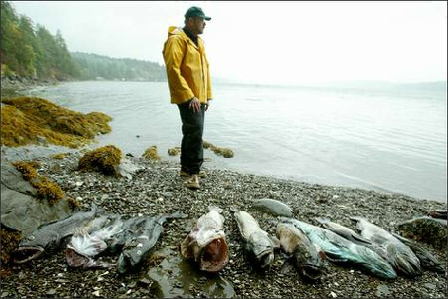 Researcher Wayne Palsson and colleagues at the state Department of Fish and Wildlife found dead crab and fish, including lingcod, in oxygen-poor areas of southern Hood Canal. Photo: Paul Joseph Brown/Seattle Post-Intelligencer