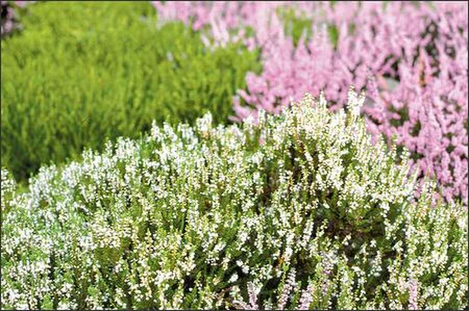 Heather starts blooming in July and the color holds out through fall. There also are cultivars with colorful leaves to brighten winter beds. Photo: / Associated Press