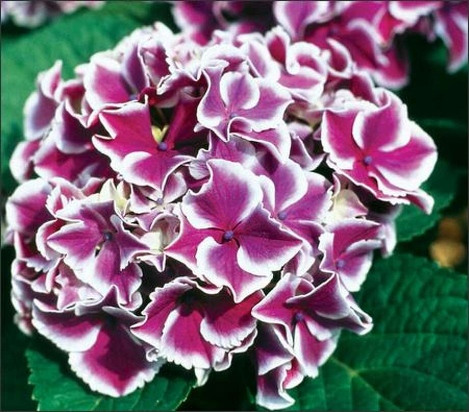 The 'Angel Smile' hydrangea has deep pink or saturated blue petals with softly rosy edges. Photo: HINES HORTICULTURE