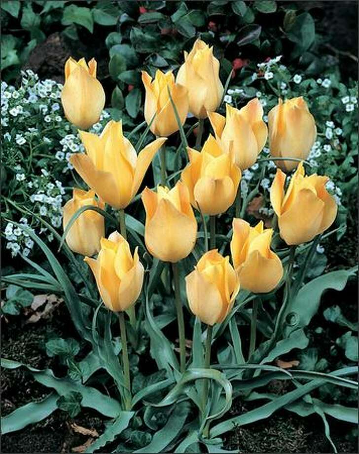 Tulipa batalinii 'Apricot Jewel' Photo: JOHN SCHEEPERS FLOWER BULBS PHOTOS