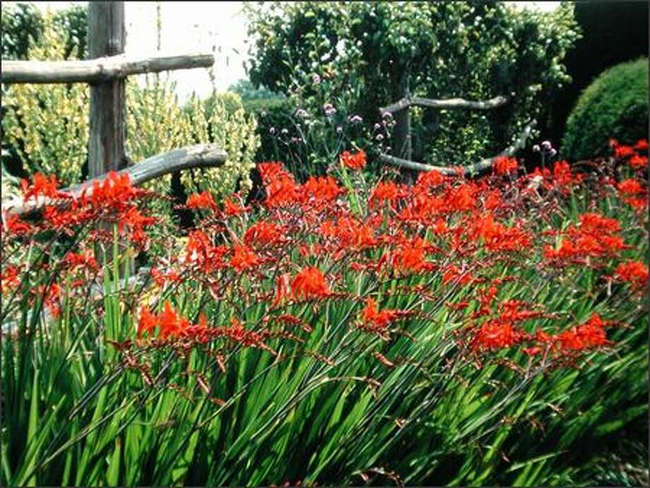 Fast-spreading crocosmia can be divided now or in the spring when new shoots appear. The bulb-like corms are easy to pull apart. Photo: GREAT PLANT PICKS