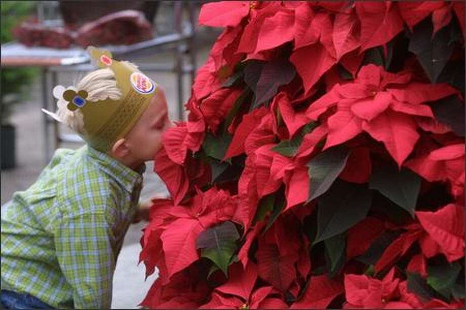 "There's not much to smell, but the color can be dazzling if a poinsettia is properly prepared. The plants need about 10 weeks of the ""darkness treatment"" for buds to form. Photo: P-I/File"