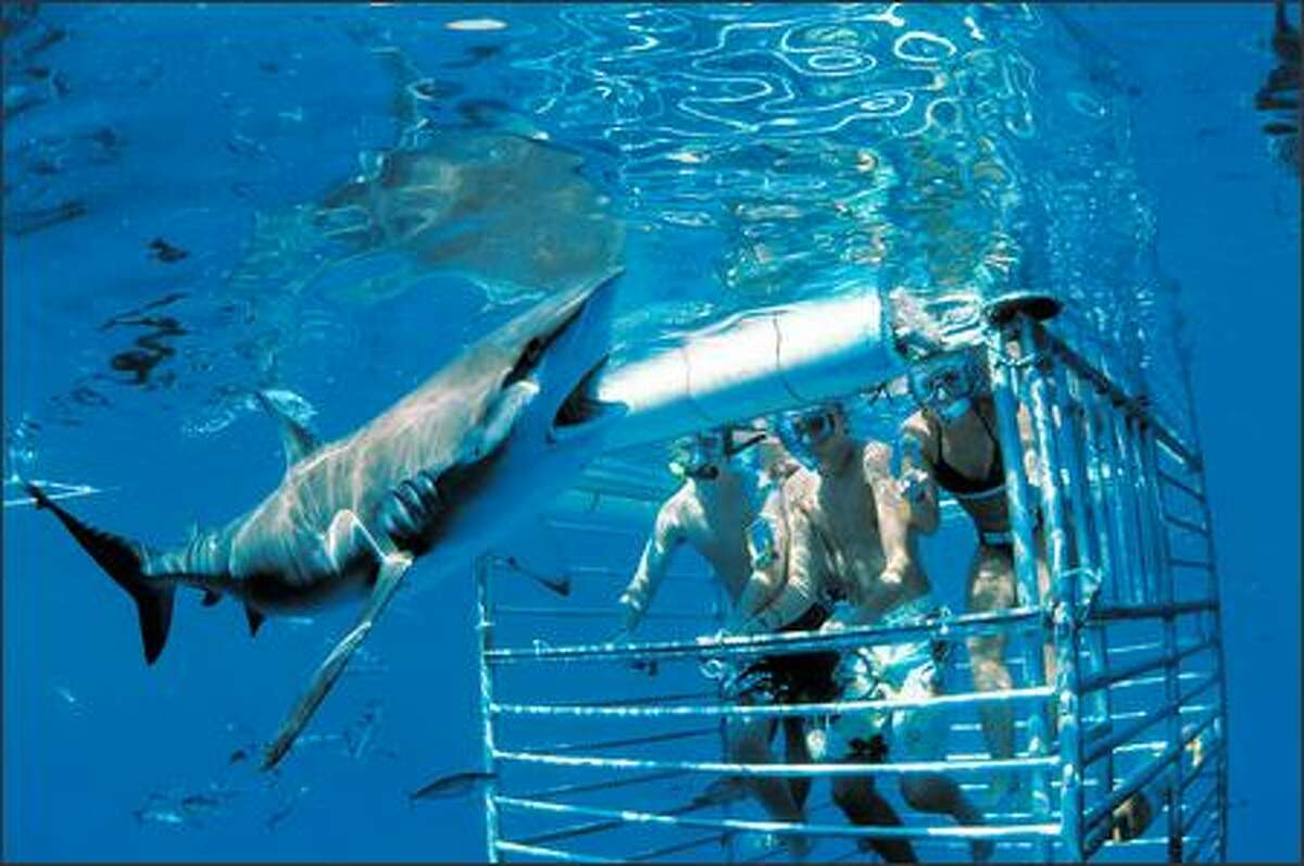 A Galapagos shark, common in Hawaiian waters, swims past the Plexiglas window of a shark-viewing cage in the waters off of Oahu. (HAWAII SHARK ENCOUNTERS)