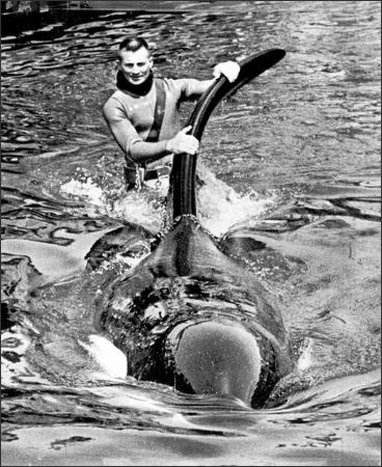 Ted Griffin rides Namu, a killer whale, at the Seattle Public Aquarium. In 1965, he paid $8,000 for an orca that had been caught in fishing nets. As Namu was towed to Seattle, a female and two small calves followed the pen, calling out to their trapped relative. Photo: / P-I File