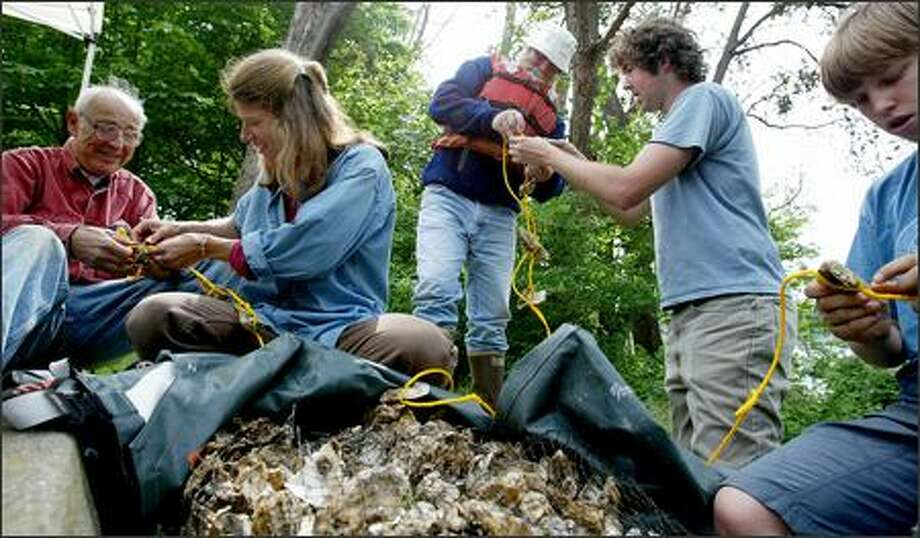 Cara Cruickshank, left, leads a group of volunteers preparing about 100,000 oysters for placement in Eagle Harbor on Bainbridge Island. They hope that the oysters will filter stormwater and other pollutants. Photo: Paul Joseph Brown/Seattle Post-Intelligencer