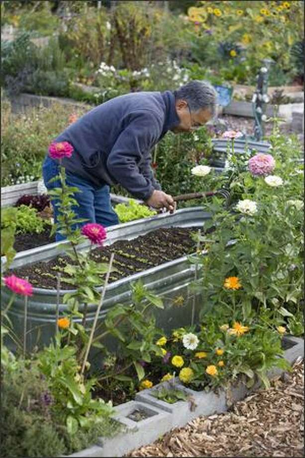 Hiro Kawasaki tends greens in a raised bed made from a galvanized metal tub at Bradner Gardens P-Patch. With their narrow sides, the containers are ideal for people with limited reach. Photo: Andrew Buchanan /