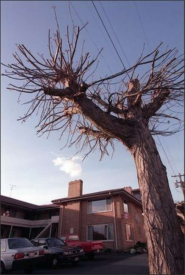 If your trees look like this, you need to set down the lopers and register for PlantAmnesty's Fall Renovation Workshop. Photo: Mike Urban/Seattle Post-Intelligencer