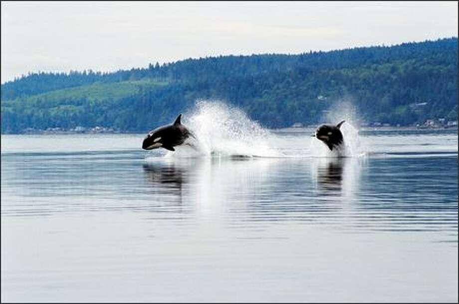 Protection for local resident orcas could hinge on how genetically different they are from transient orcas such as these in Hood Canal. Photo: Minette Layne/Special To The P-I