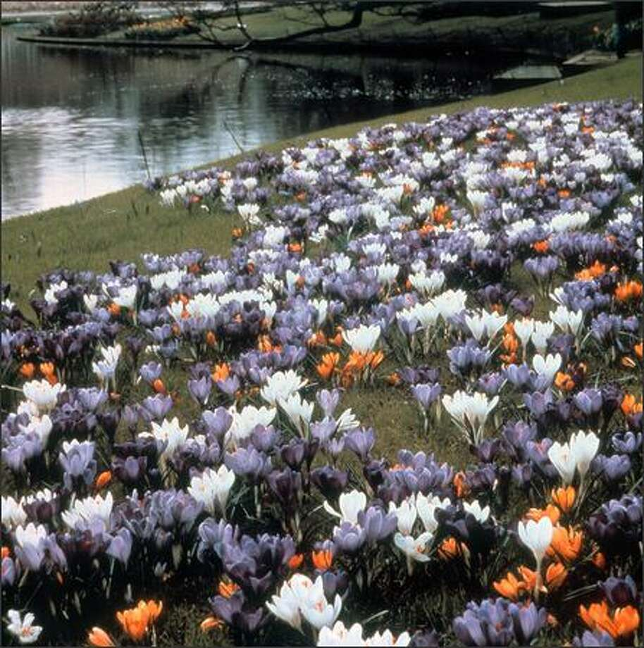 Crocus bloom while turf is still dormant. Bulbs this small can be packed together to magnify their color. Photo: MAUREEN GILMER/Scripps Howard News Service