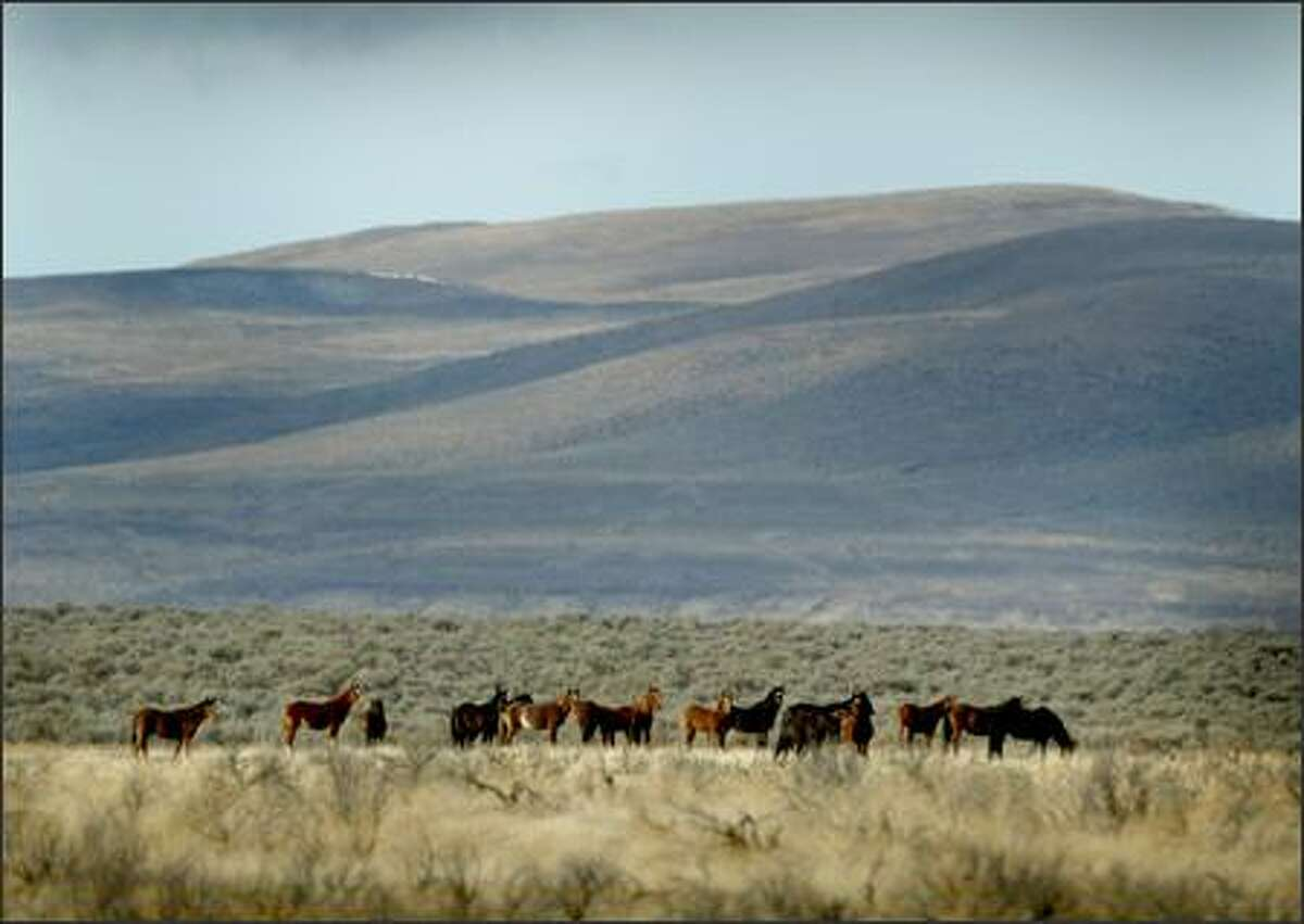 FILE: A herd of wild horses roams the open range on the Yakama Indian Reservation.