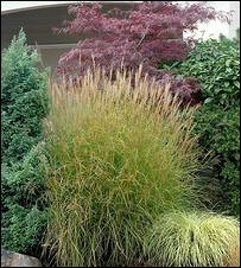 It's best to wait until mid-February to cut and divide ornamental grasses such as this Miscanthus sinensis 'Graziella.' Photo: DOREEN WYNJA/MONROVIA