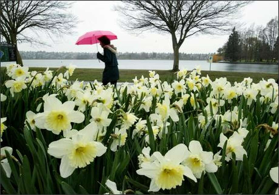 Daffodils brighten a gray morning at Green Lake. They are among the easiest bulbs to please. Photo: DAN DELONG/P-I FILE