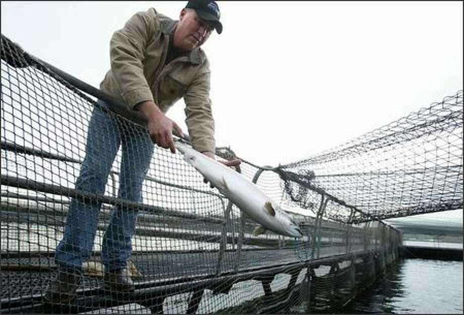 Rob Miller, manager for American Gold Seafood, returns an Atlantic salmon into a rearing pen near Bainbridge Island last week. American Gold Seafood bills itself as raising salmon naturally. Photo: Paul Joseph Brown/Seattle Post-Intelligencer