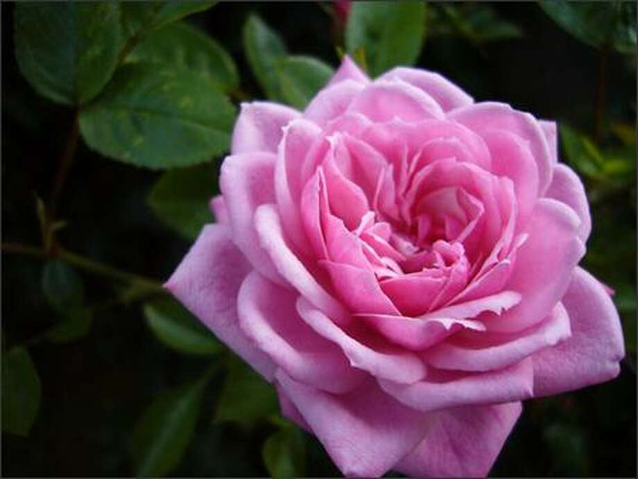 Learn tips and techniques for putting your roses to bed for the winter, from 11 to 11:30 a.m. today at Molbak's in Woodinville. Photo: Kurt Schlosser/Seattle Post-Intelligencer