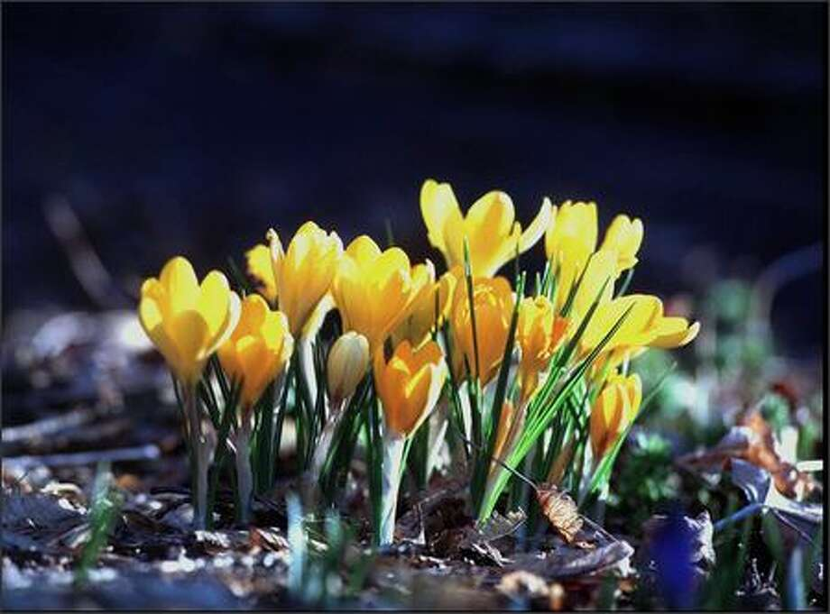 Sunny crocuses send up some of the first signs of spring. To plant them in your lawn, cut flaps into the sod and loosen the soil. Photo: Grant M. Haller/Seattle Post-Intelligencer