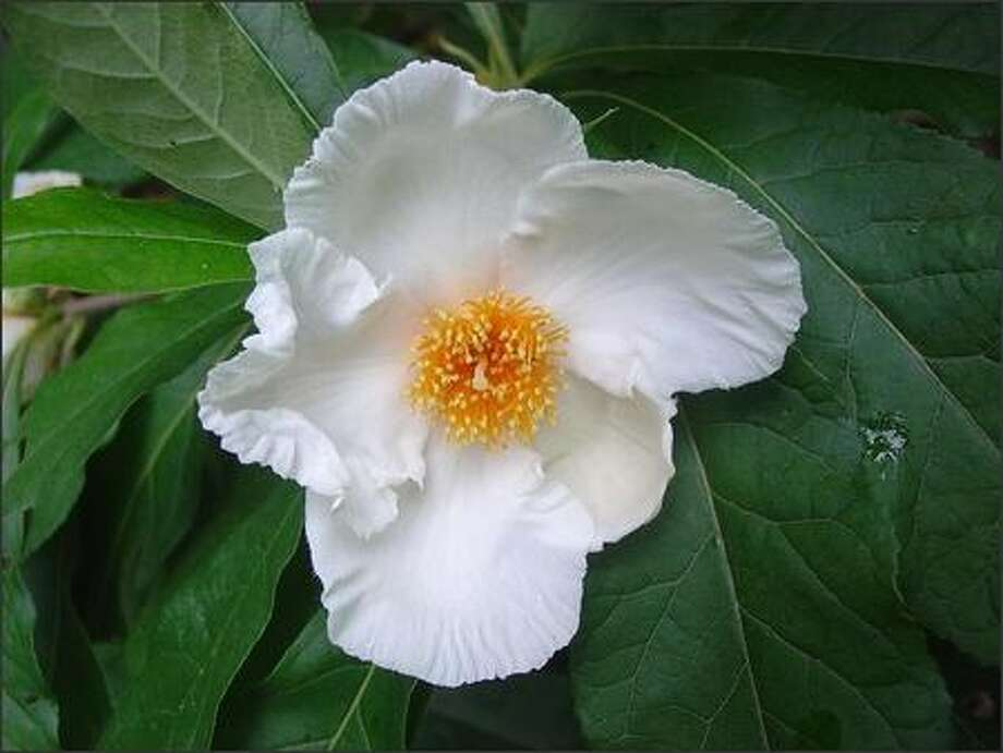 Franklinia alatamaha is a close relative of the camellia, but its white blossoms show up in the fall, when its leaves turn colors. Photo: /