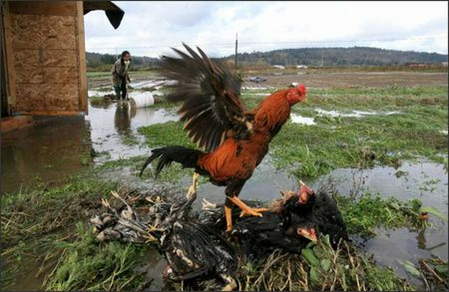 "A rooster perches on companions drowned by Snoqualmie River floodwaters near Fall City. Behind, Mee Vang digs a ditch to drain water pooled around the coup where half of her chickens died. ""I really loved them,"" she said. Photo: Dan DeLong/Seattle Post-Intelligencer"