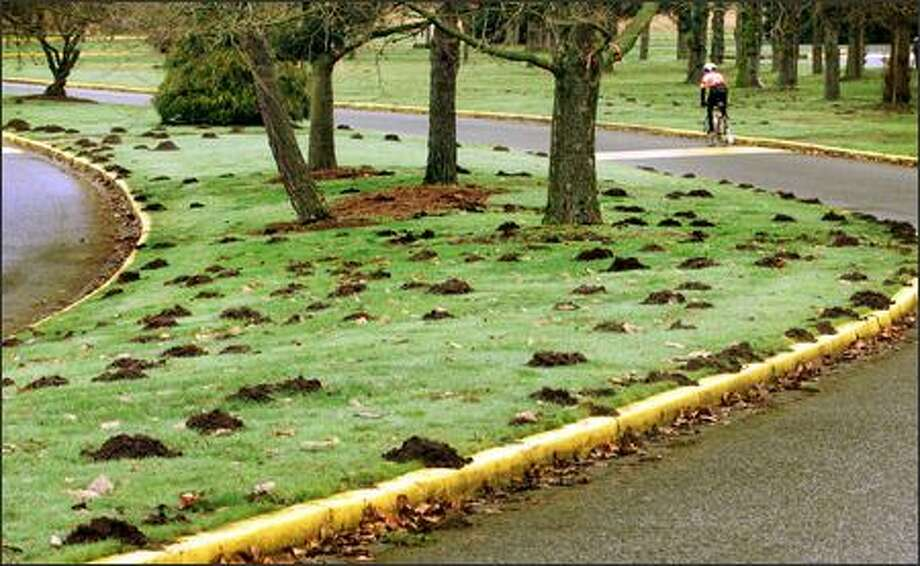 Molehills dot a median strip in Redmond's Marymoor Park. If you have moles, the good news is that they aerate your lawn. Photo: DAN DELONG/P-I FILE