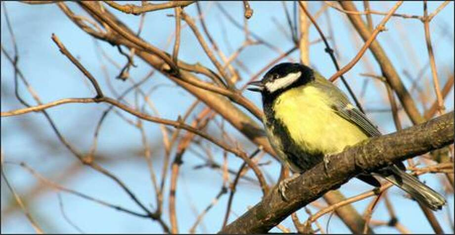Studies of a bird species called the great tit found different sounds for city and country birds. Photo: /