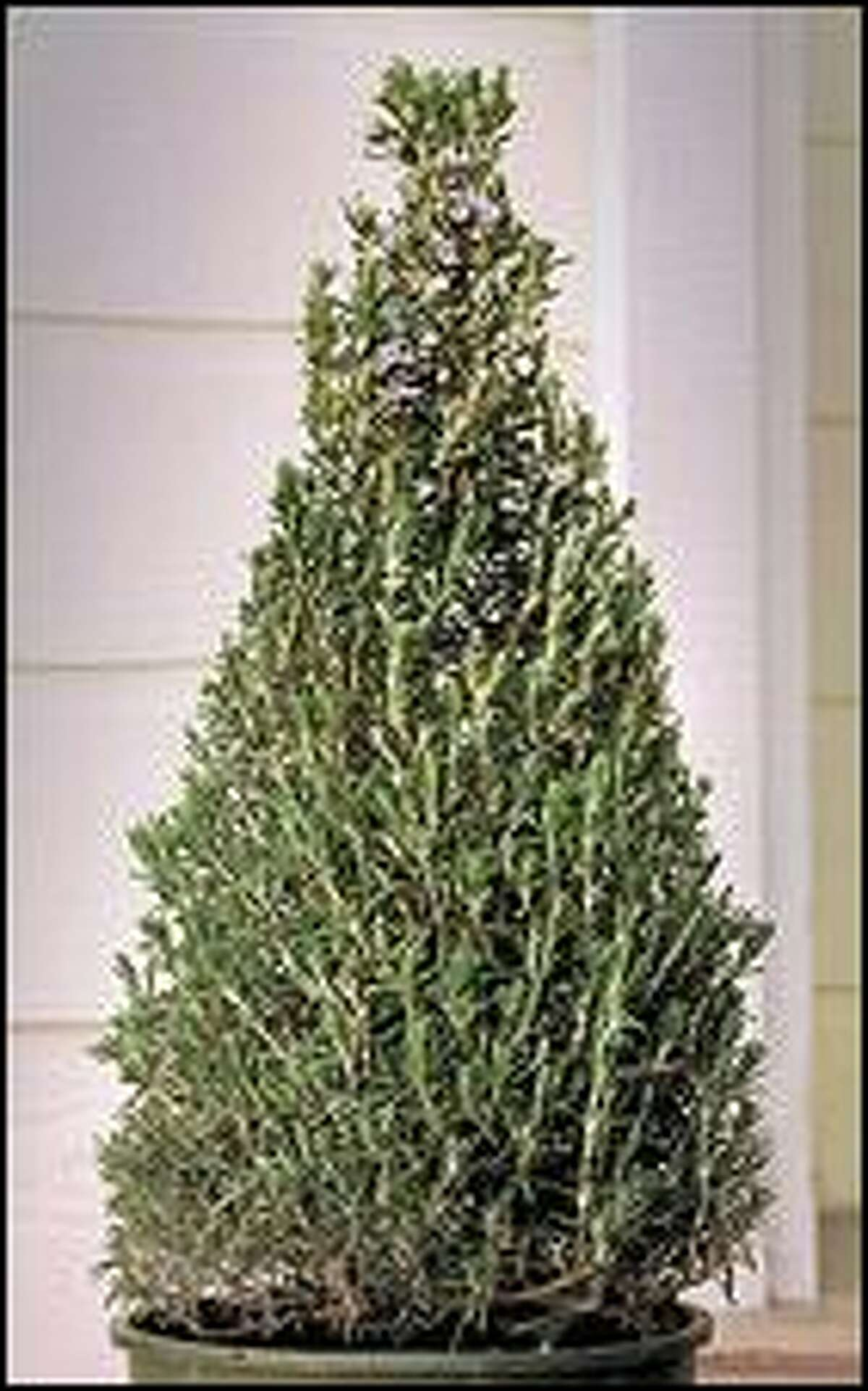 Ciscoe S To Do List Rosemary Topiary Makes A Nice Gift But Keep It Outside