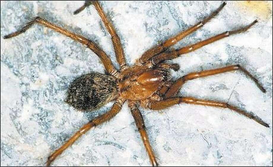Have you seen a hobo spider? (UNIVERSITY OF NEBRASKA) Photo: /