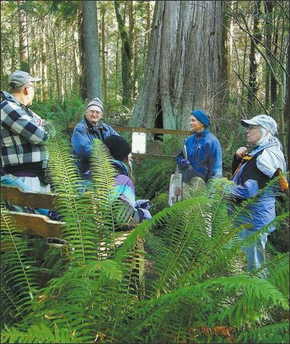 Saved by a sit-in:  Hikers pause to admire Ancient Cedar, thought to be at least 500 years old, in the old-growth forest of South Whidbey State Park, which contains the largest chunk of old growth on southern Whidbey Island.