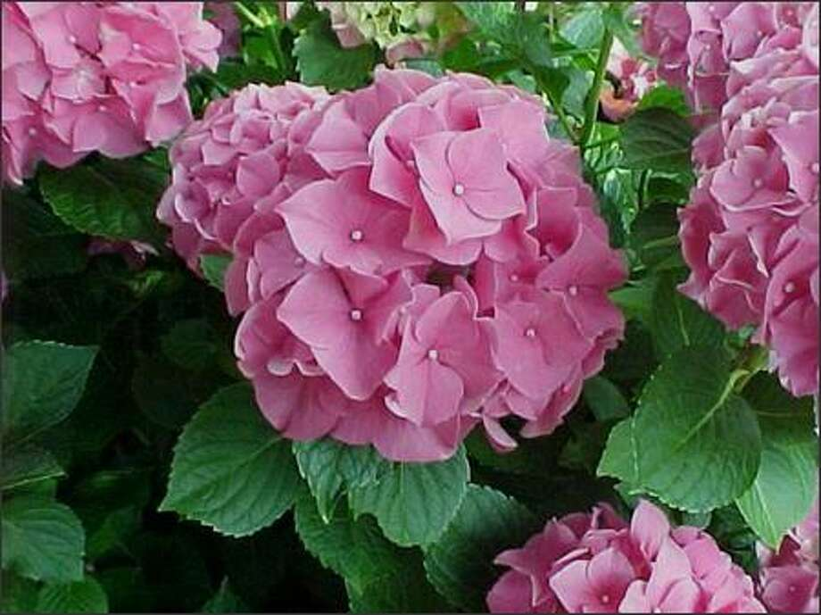 Although it's OK to prune hydrangeas now, in our climate, they seem to do best with no pruning at all. However, if you need to control the size, just remove the dead or crossing branches. Photo: /