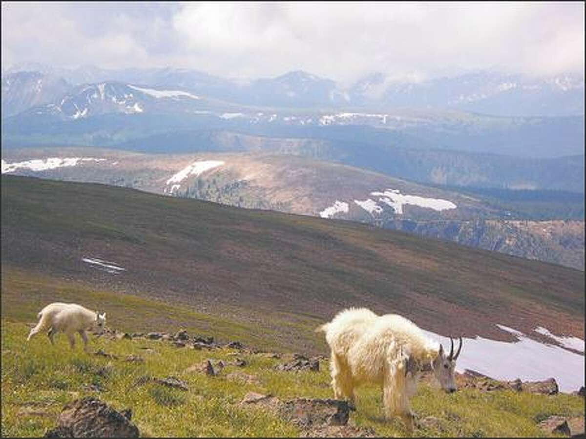A mountain goat nanny and her kid amble along the Cathedral Rim Trail, in British Columbia's Cathedral Provincial Park at the east end of the Cascade Range. Goats belong here, not in the Olympics..