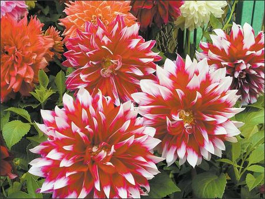 The modern dahlia is the result of European breeding. Photo: Maureen Gilmer/SHNS