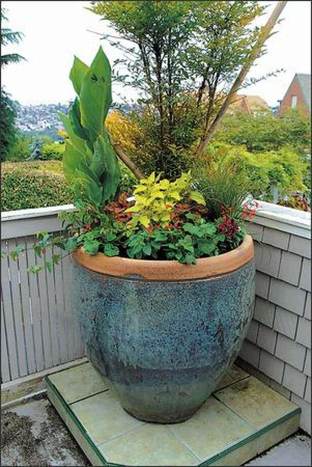 Abutilon, Phygelius, Carex, Salvia 'Lady in Red,' Coleus and Pelargonium 'Black Magic' mix well in a pot. Photo: Steve Shelton