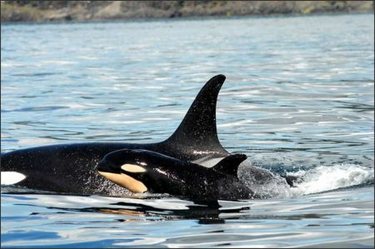 A newborn orca calf -- known as J42 -- surfaces Wednesday alongside its mother, J16, near the west side of San Juan Island.