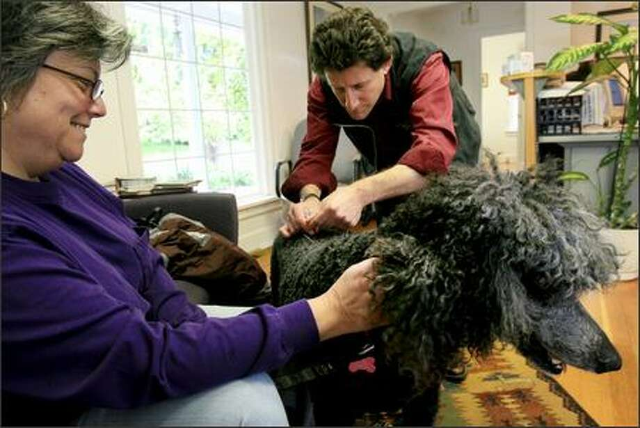 "Auggie, a standard poodle who is bothered by a torn tendon and hepatitis, gets acupuncture once a week from veterinarian Howard Friedman at Cougar Mountain Veterinary & Wellness Center in Issaquah. Auggie's owner, Robyn Scola, says, ""When you look at that face, how could you not do anything for them?"" Photo: Andy Rogers/Seattle Post-Intelligencer"